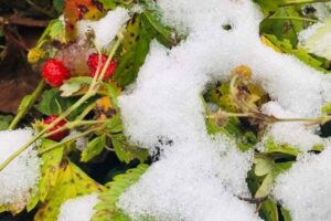 Care of Strawberries in Winter