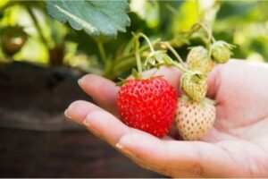 How to Grow Strawberry in Container