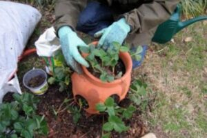 Soil Mix For Strawberry in Containers
