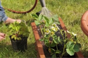 Water the Strawberry Plants