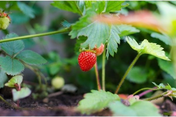 growing strawberry in container