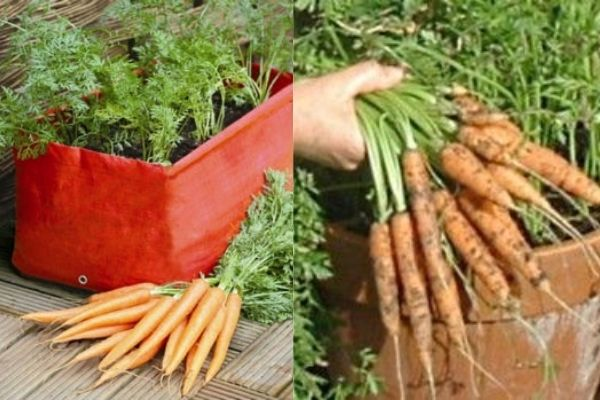 Carrot in Container Gardening