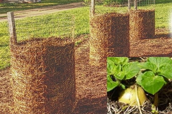 Growing Potatoes In Containers With Straw