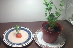 How To Grow Carrots From Carrots